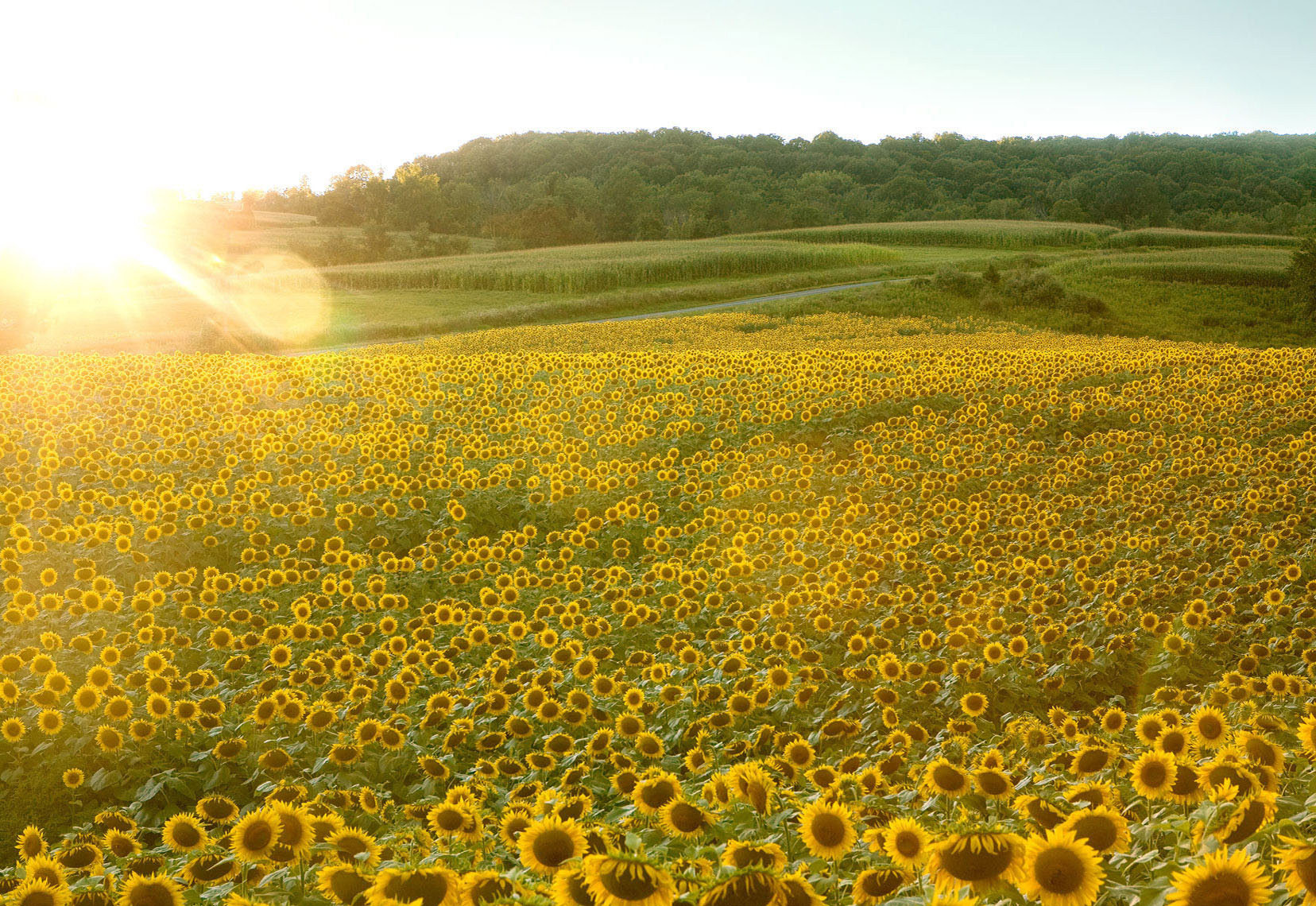 New_Sunflower-field_6613_APF